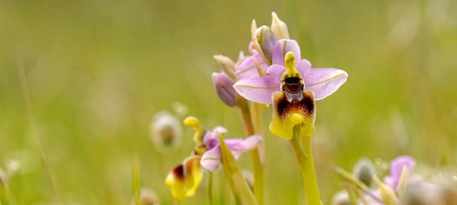 "Le ""Sennoricas"", le belle signorine, orchidee spontanee di Sardegna"